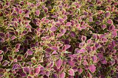 Solenostemon scutellaides plants Royalty Free Stock Images