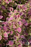 Solenostemon scutellaides plants Stock Images