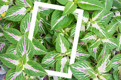 Solenostemon scutellarioides, Painted nettle or  Flame nettle Royalty Free Stock Images