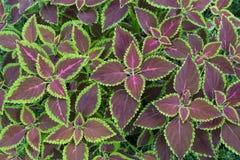 Solenostemon scutellarioides, Painted nettle or  Flame nettle Stock Photos