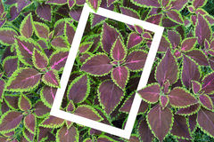 Solenostemon scutellarioides, Painted nettle or  Flame nettle wi Stock Photo