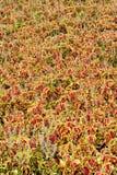 Solenostemon scutellarioides plant Royalty Free Stock Photography
