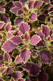 Solenostemon scutellarioides plants Stock Photo