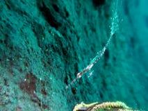 Solenostomus paradoxus decorato di ghostpipefish in Raja Ampat video d archivio