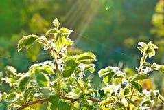 """""""Solens strålar och morgondagget på sidorna."""", Royaltyfria Foton"""