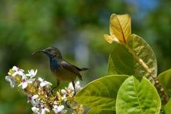 Solfågeln Arkivbild