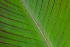Solf background venation patterns of green leaf. Closeup soft focus background of green leaf texture with brown vein patterns of the green tropical Southeast Royalty Free Stock Image