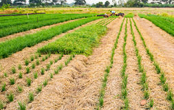Solf-Unschärfe von Landwirten pflanzen die frischen und jungen Schnittlauche Stockfotografie