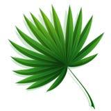 Solfjäderformigt blad av en tropisk palmträd Vektor p? vit bakgrund vektor illustrationer