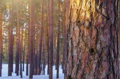 Solglöd i den snöig vintern Forest Pine Tree Trunk Closeup royaltyfri foto