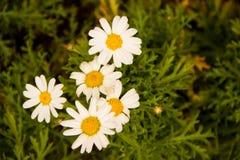 Solgräsplan blommar härliga färger Arkivbilder