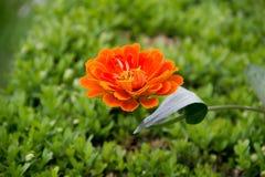 Solgräsplan blommar härliga färger Arkivfoto