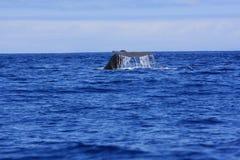 Solha da baleia de esperma Foto de Stock