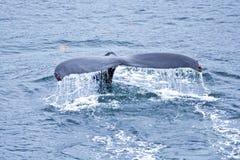 Solha da baleia de Humpback Fotografia de Stock Royalty Free