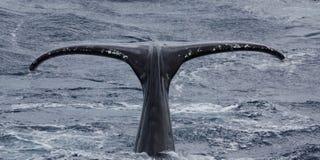 Solha da baleia de Humpback fotos de stock royalty free