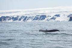 Solha da grande baleia de corcunda como entra em um mergulho Fotos de Stock