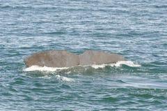 Solha de uma baleia de esperma do mergulho, Nova Zelândia Fotografia de Stock Royalty Free