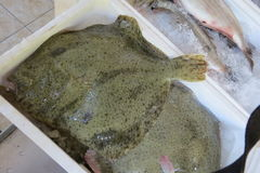 Solha, solha, peixe heterossomo, Scholle, Flunder Foto de Stock