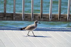 A soliary bird walking along a pier royalty free stock photography