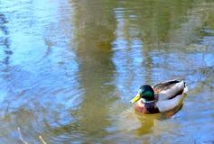 A solidão da mola do pato Fotos de Stock