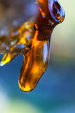 Solid amber resin drops on a cherry tree trunk. Stock Images