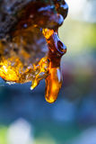 Solid amber resin drops on a cherry tree trunk. Royalty Free Stock Photo