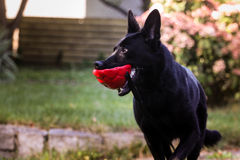 Solid black german shepherd dog. Photo of german shepherd dog. Playing time Royalty Free Stock Photography