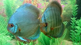 Solid blue diamond discus pair Royalty Free Stock Images