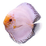 Solid Blue Fish Stock Photography