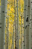 Solid Gold. A dense stand of quaking aspens seems to create an impenetrable wall of golden leaves Stock Images