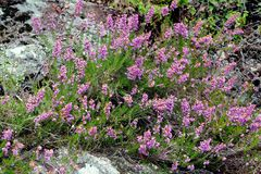 Solid heather in the mountains. Of the Cevennes Royalty Free Stock Photos