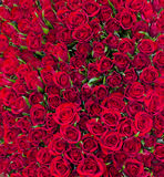 Solid red roses background Royalty Free Stock Image