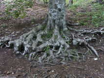 Solid roots Royalty Free Stock Photography