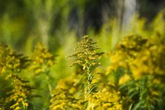 Solidago blooming on the summer field. Solidago blooming on the summer field royalty free stock image
