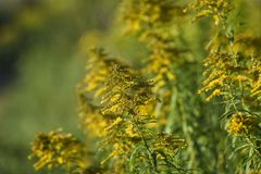 Solidago blooming on the summer field. Solidago blooming on the summer field stock images