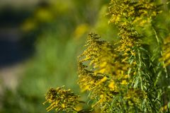 Solidago blooming on the summer field. Solidago blooming on the summer field stock photography