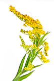 Solidago canadensis or Canada golden-rod or Canada goldenrod Stock Photography