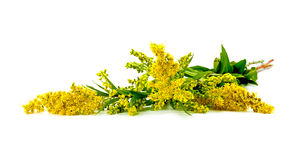 Solidago canadensis or Canada golden-rod or Canada goldenrod Stock Photos