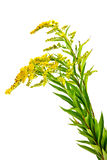 Solidago canadensis or Canada golden-rod or Canada goldenrod Stock Images