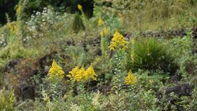 Solidago canadensis stock video