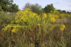 Solidago canadensis Stock Photography
