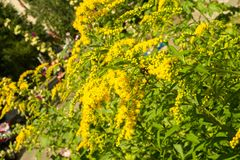 Solidago, commonly called goldenrods, is a genus of species of f. Lowering plants in the family of asters, Asteraceae. Most of them are herbaceous perennial stock photos