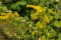 Solidago, commonly called goldenrods, is a genus of species of f. Lowering plants in the family of asters, Asteraceae. Most of them are herbaceous perennial royalty free stock image