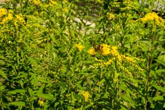 Solidago, commonly called goldenrods, is a genus of species of f. Lowering plants in the family of asters, Asteraceae. Most of them are herbaceous perennial royalty free stock photo