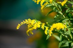 Solidago, commonly called goldenrods, is a genus of species of f. Lowering plants in the family of asters, Asteraceae. Most of them are herbaceous perennial stock image