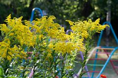 Solidago, commonly called goldenrods, is a genus of species of f. Lowering plants in the family of asters, Asteraceae. Most of them are herbaceous perennial stock images