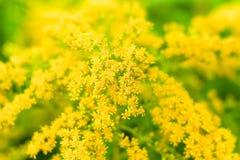 Solidago gigantea. Flowering Solidago gigantea. Background. Focus on the center Royalty Free Stock Photo