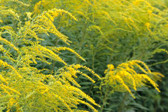 Solidago kolor żółty Zdjęcia Royalty Free