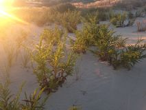 Solidago Sempervirens Flowers on Nickerson Beach, Long Island. Royalty Free Stock Image