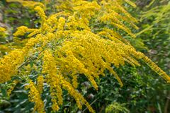 Solidago virgaurea European goldenrod or woundwort. Is an herbaceous perennial plant of the family Asteraceae stock image